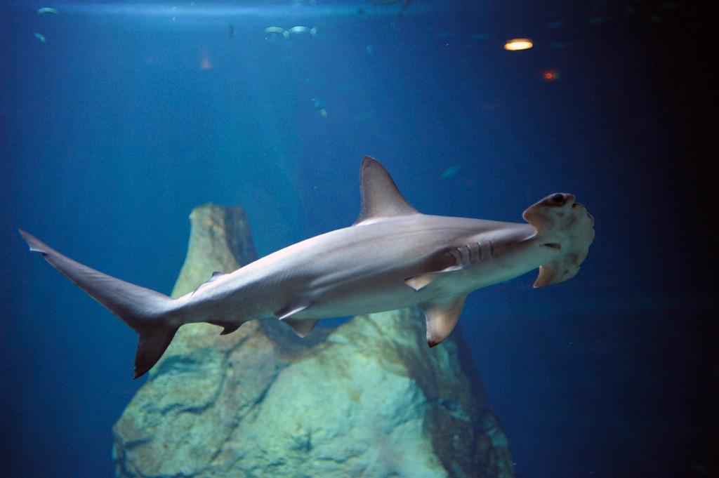 Tubarão no Aquário de Biarritz